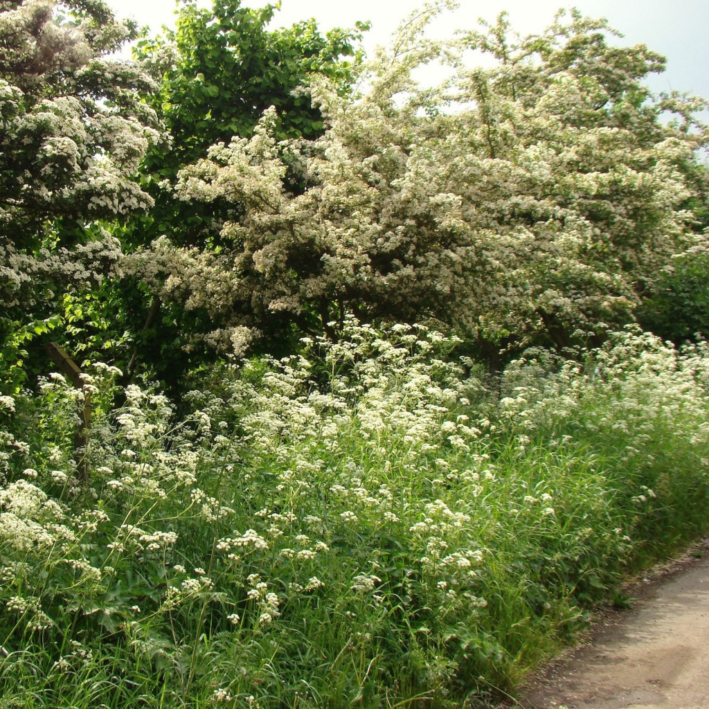 May Blossom Hawthorn Cow Parsley